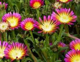 Deslosperma, pourpier vivace : planter et cultiver