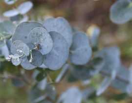 Eucalyptus : planter, tailler et entretenir