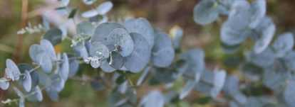eucalyptus des neiges eucalyptus niphophila longues feuilles vertes. Black Bedroom Furniture Sets. Home Design Ideas
