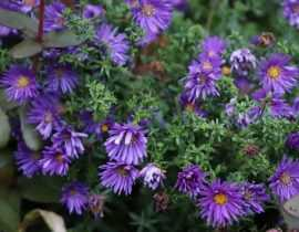 Fleurs d'automne, les plus jolies espèces et variétés de mon jardin !