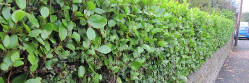Griselinia littoralis, haie croissance rapide
