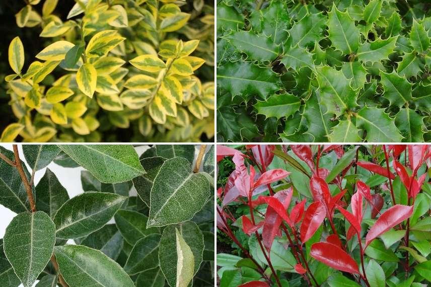 Haies persistantes des arbustes pour tous les styles de jardin promesse de fleurs - Haie de jardin qui pousse vite ...