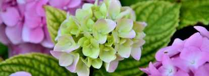 Hortensias : planter, tailler et entretenir