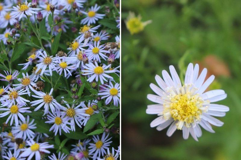 Kalimeris, fleurs d'automne