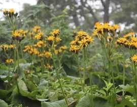 Ligularia, ligulaire : planter, cultiver et entretenir