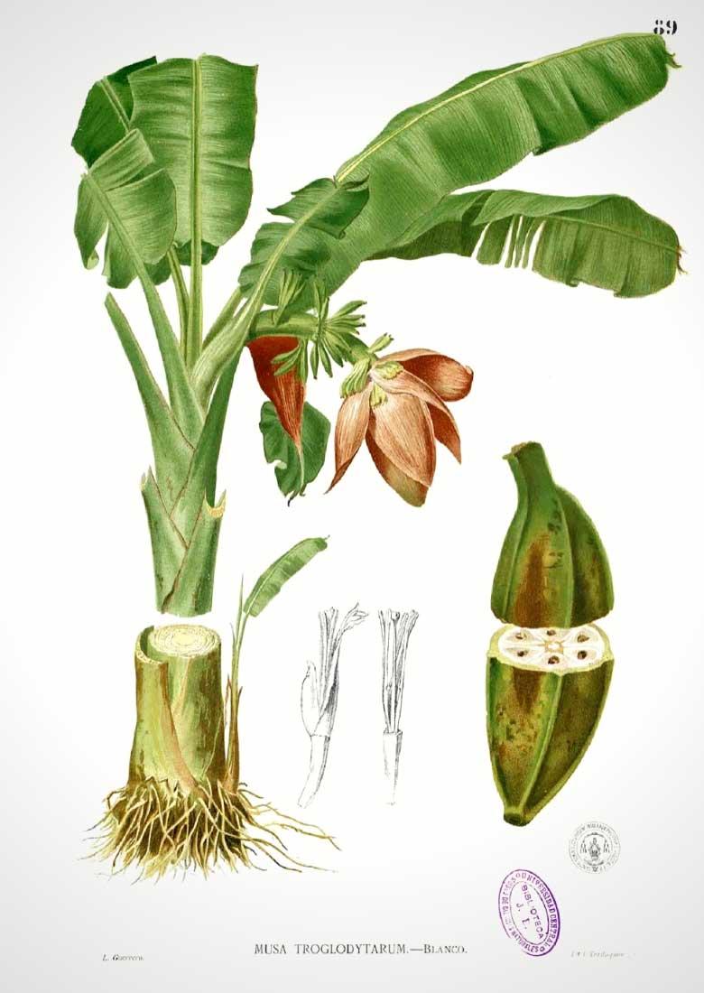 bananier, musa : plantation, culture et entretien %%sep%% promesse