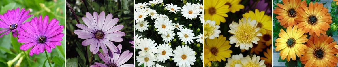 osteospermum plantation taille entretien promesse de fleurs. Black Bedroom Furniture Sets. Home Design Ideas