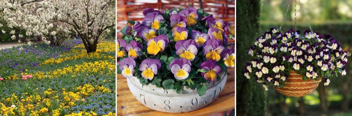 Les pensées ou Viola peuvent être installées en pleine terre, en pot ou en suspension