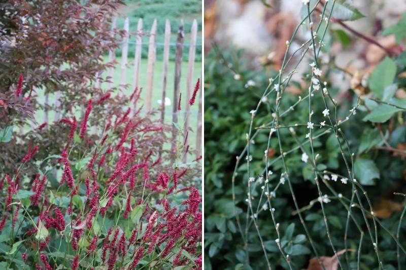 Persicaire, fleur d'automne