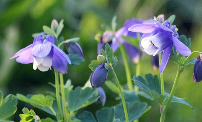 10 fleurs vivaces très faciles à semer