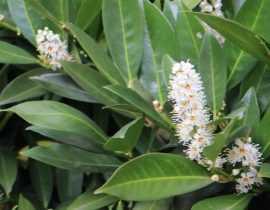 Laurier palme et Laurier du Portugal : planter, tailler et entretenir