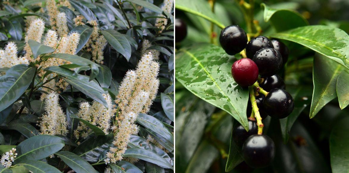 Laurier palme et Laurier du Portugal : planter, tailler et entretenir - Promesse de Fleurs