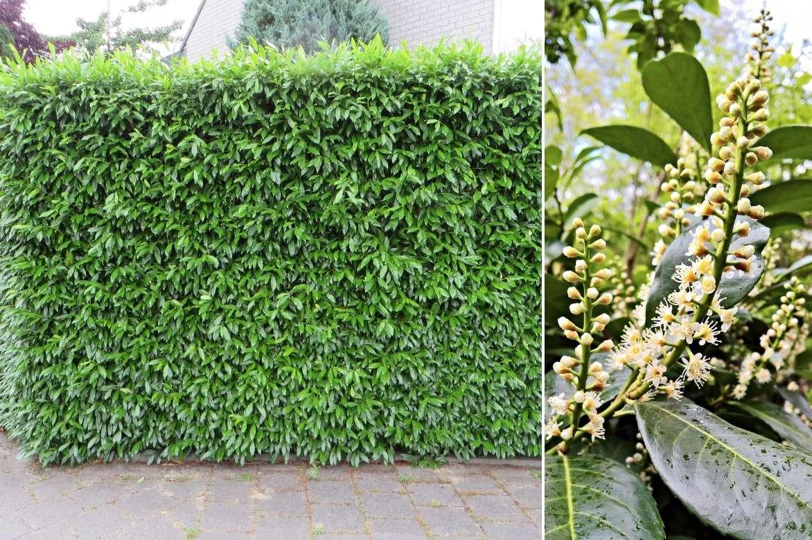 laurier palme et laurier du portugal planter tailler et entretenir promesse de fleurs. Black Bedroom Furniture Sets. Home Design Ideas