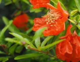 Grenadier à fleurs : planter, tailler et entretenir