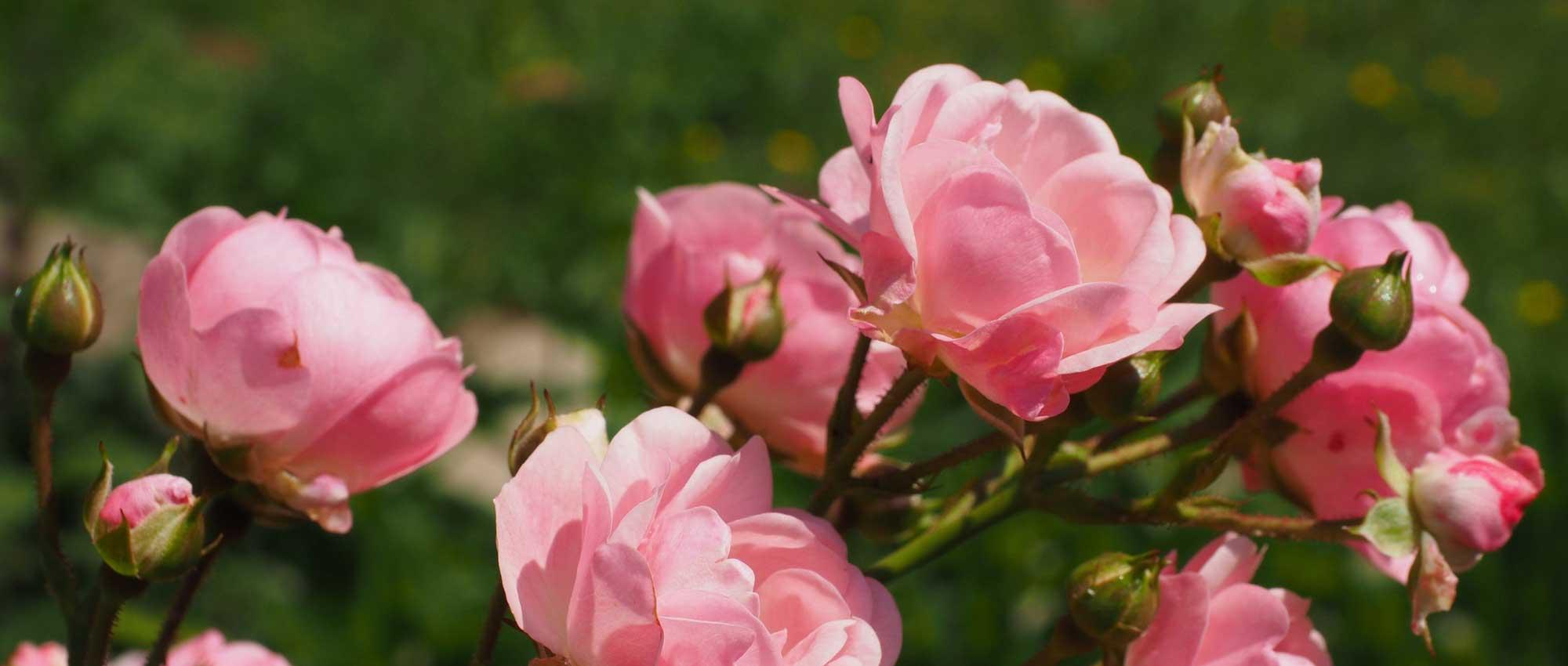Couper Les Rosiers En Octobre rosiers : tous nos conseils pour bien les choisir ! - blog