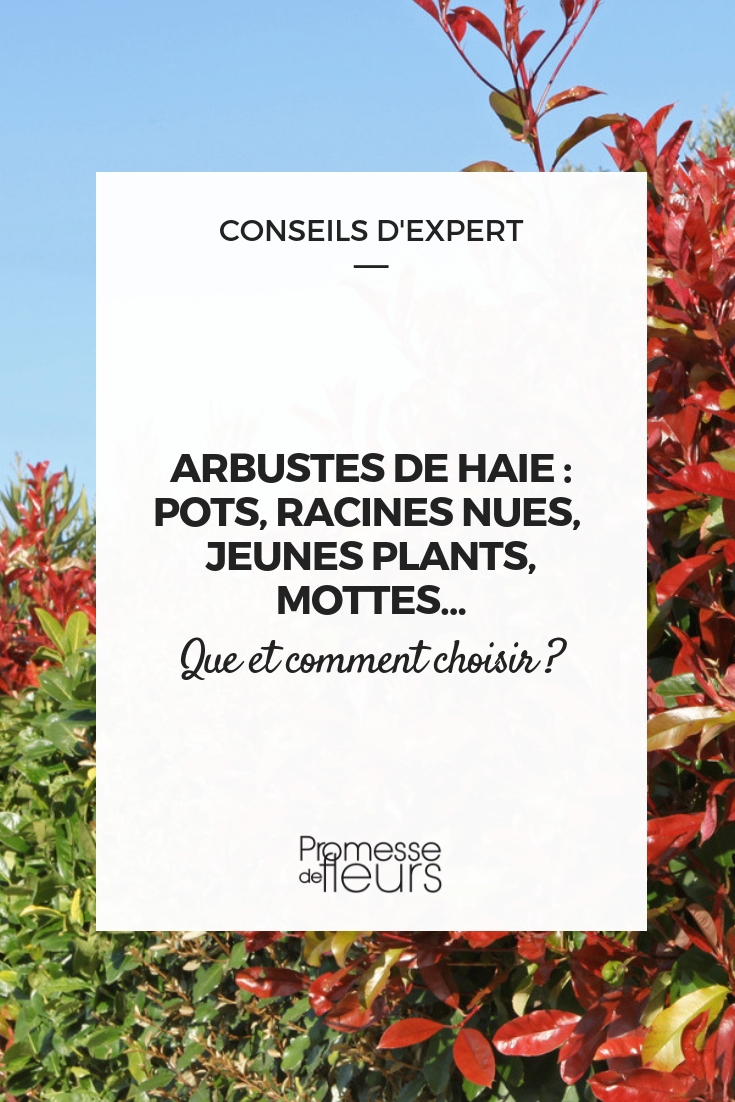 haie : choisir le conditionnement de ses arbustes