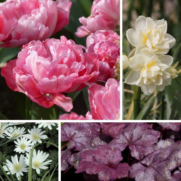 associer la tulipe sweet amy