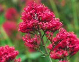 Valériane, Centranthus : semis, plantation et entretien