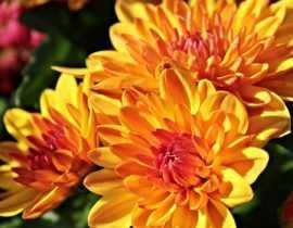 Chrysanthème : plantation, entretien, taille
