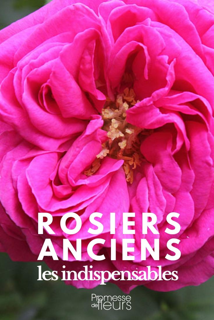 rosiers anciens : les meilleurs variétés