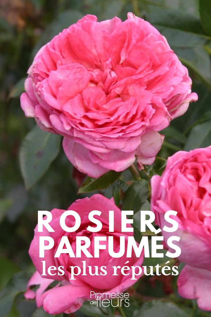 rosiers parfumés : les variétés les plus réputées