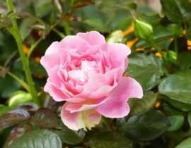 Le rosier Borneo Odore : une nouvelle variété, remontante et très parfumée