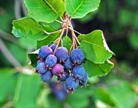 Amelanchier Saskatoon Berry, le nouveau fruitier inratable venu des USA