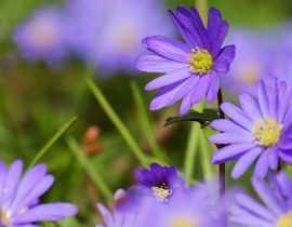 Anémones de printemps : plantation, culture, entretien et utilisation
