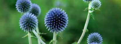 Echinops : planter, cultiver et entretenir