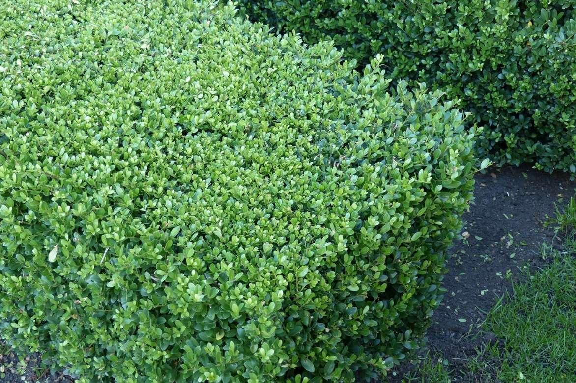 Comment Faire Une Pousse De Houx houx : planter, tailler et entretenir - promesse de fleurs