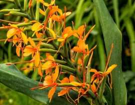 Hedychium : planter, cultiver et entretenir