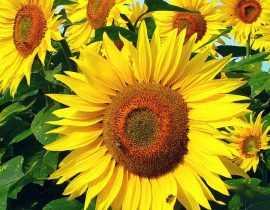 Tournesol : semis, plantation, entretien