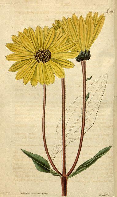 helianthus vivace