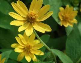 Helianthus vivace, soleil : plantation, culture, entretien