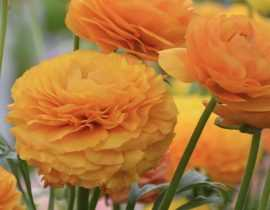 Les renoncules des fleuristes : plantation, culture, entretien et utilisation