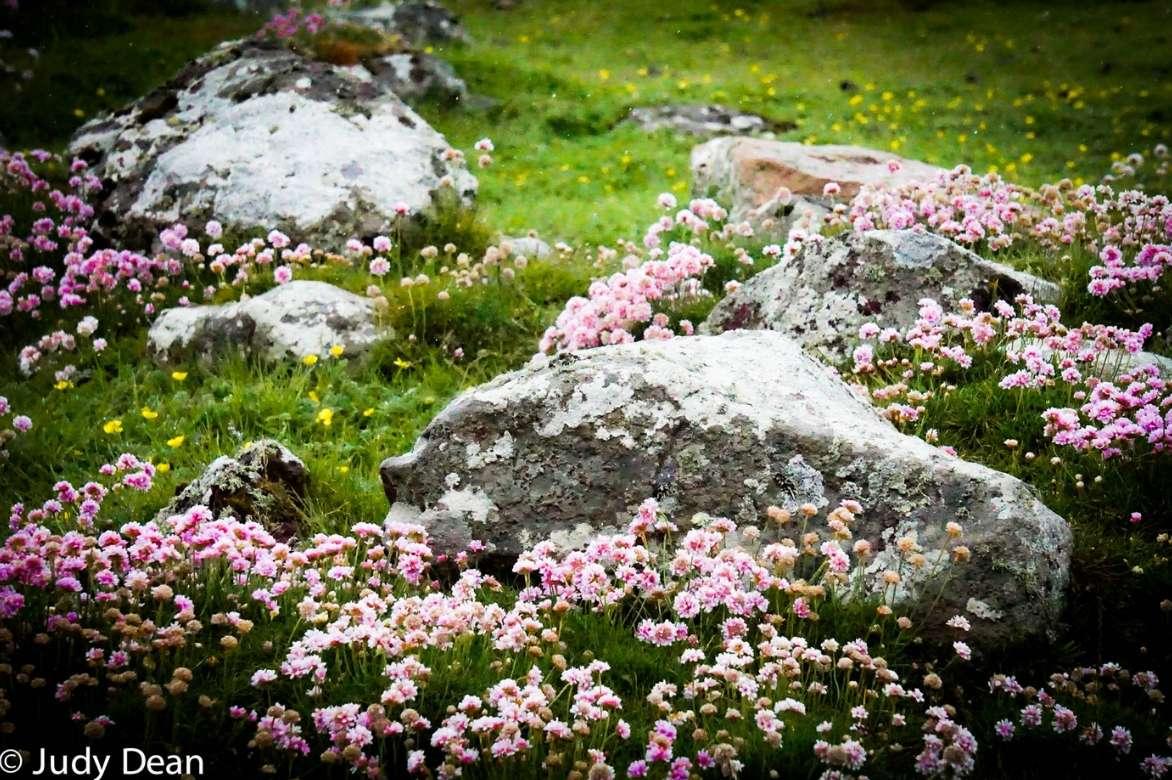 armeria gazon d 39 espagne planter cultiver entretenir promesse de fleurs. Black Bedroom Furniture Sets. Home Design Ideas