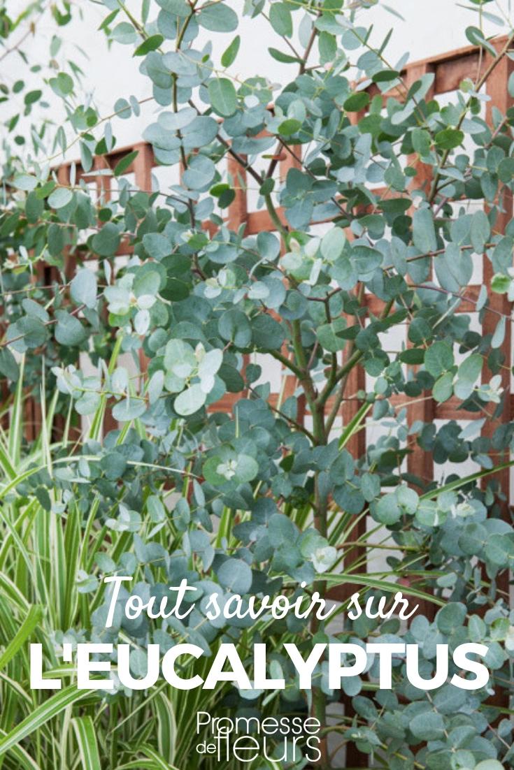 eucalyptus planter tailler et entretenir promesse de fleurs. Black Bedroom Furniture Sets. Home Design Ideas