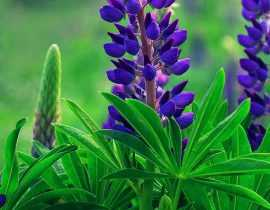 Lupin : semis, plantation et entretien