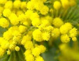 Mimosa : planter, tailler et entretenir