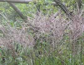 Miscanthus : planter, cultiver et entretenir