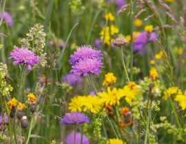 Semer une prairie fleurie : pourquoi, comment ?