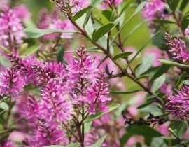 Hebe, véronique arbustive : planter, tailler et entretenir