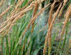 Calamagrostis : planter, cultiver et entretenir