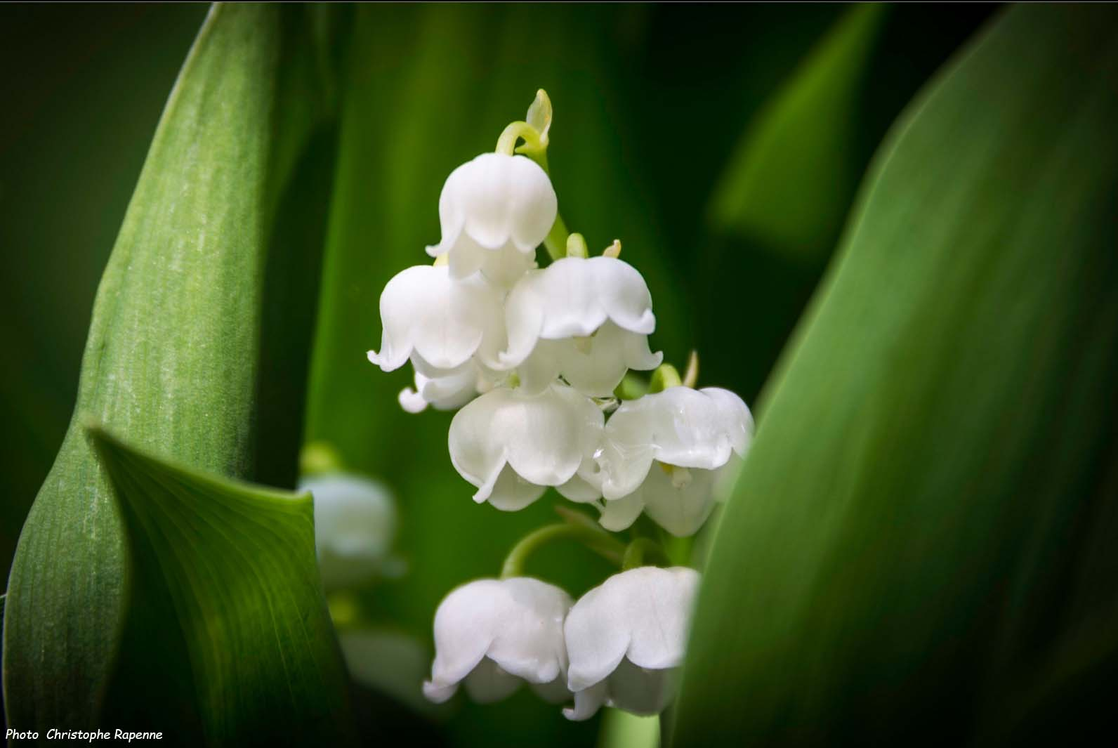 Comment Planter Du Muguet muguet : plantation, entretien - promesse de fleurs