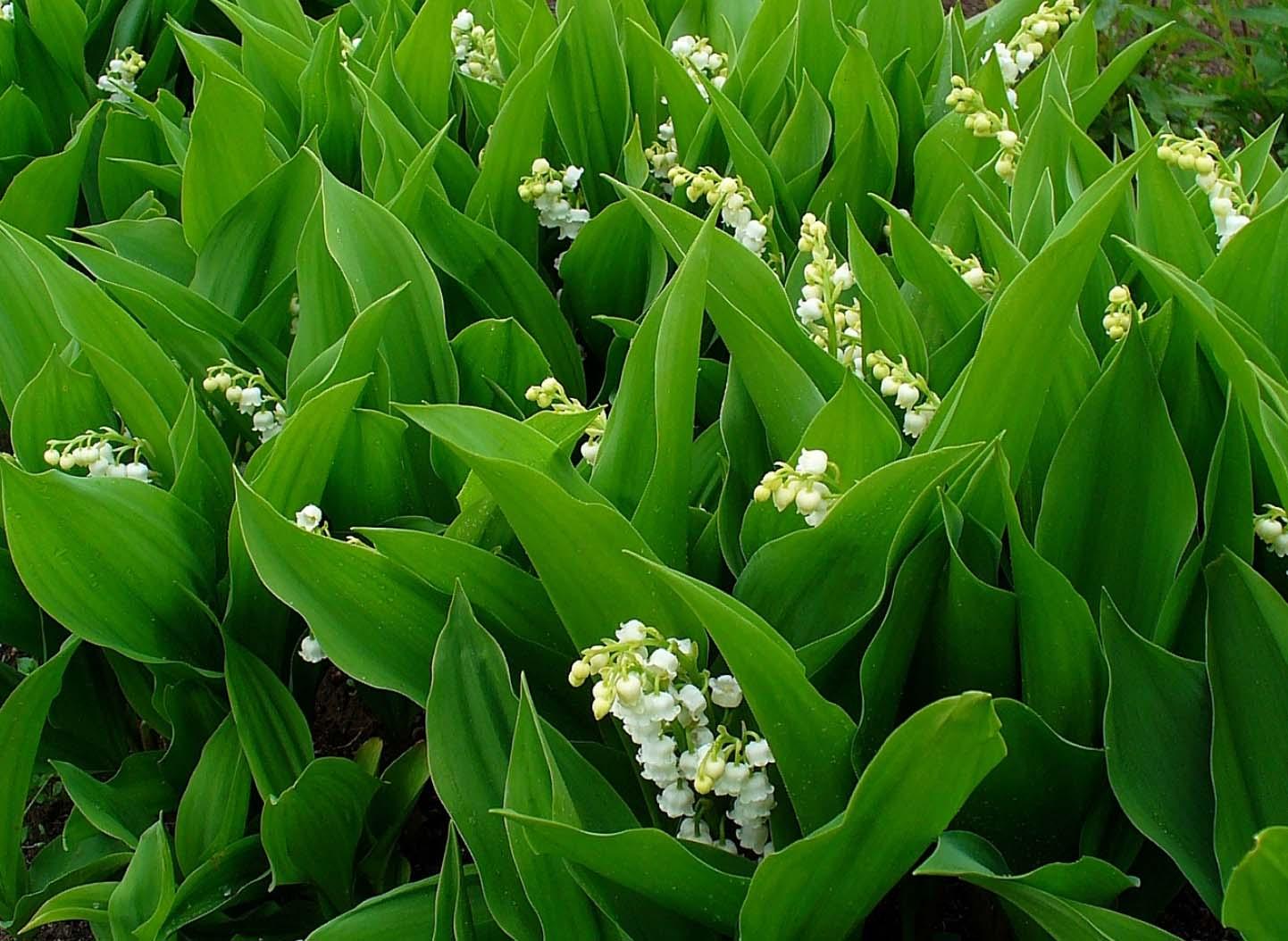muguet : plantation, entretien - promesse de fleurs