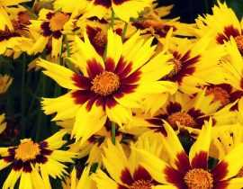Coreopsis : semer, planter, cultiver