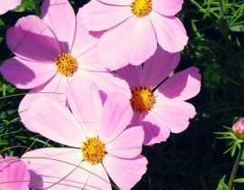 Cosmos : semis et plantation