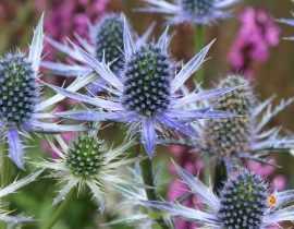 Eryngium, Panicaut : plantation, culture et entretien