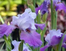 Iris des jardins, iris barbus : plantation, entretien