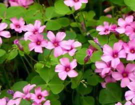 Oxalis : planter, cultiver et entretenir